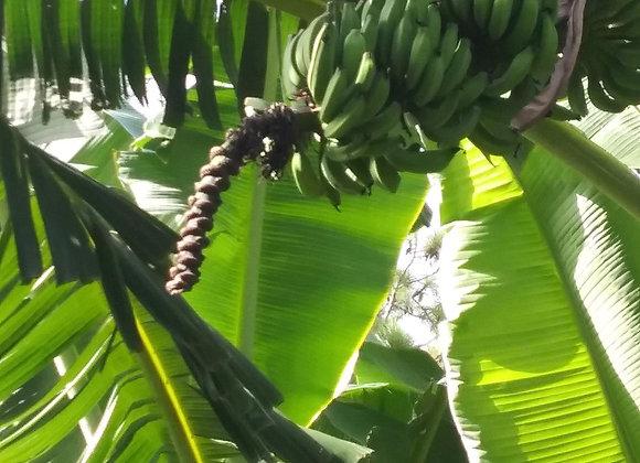 Banana Tree, Apple Banana