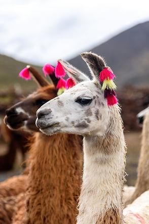 Two llamas standing and looking.jpg
