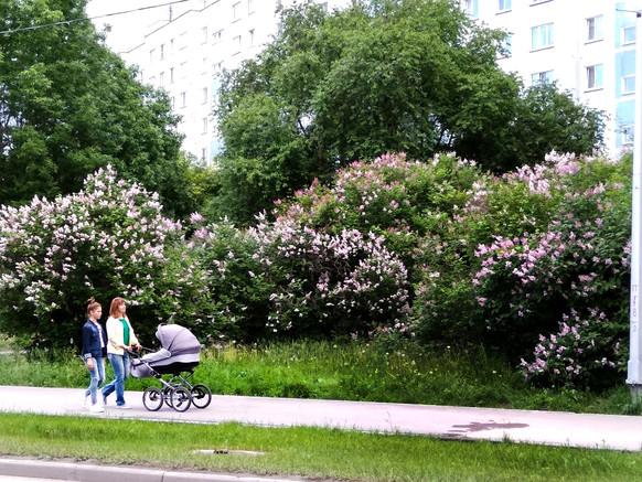 Сирень венгерская на 12-й улице..jpg