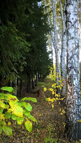 елки-березы.4 jpg.jpg
