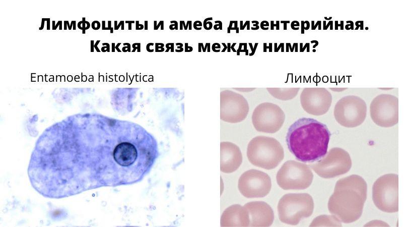 Амеба и лимфоцит.