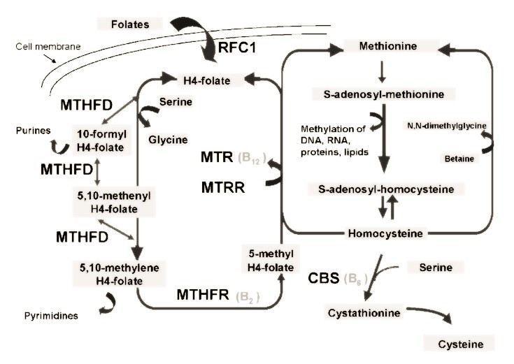 Фолатный цикл утилизации гомоцистеина