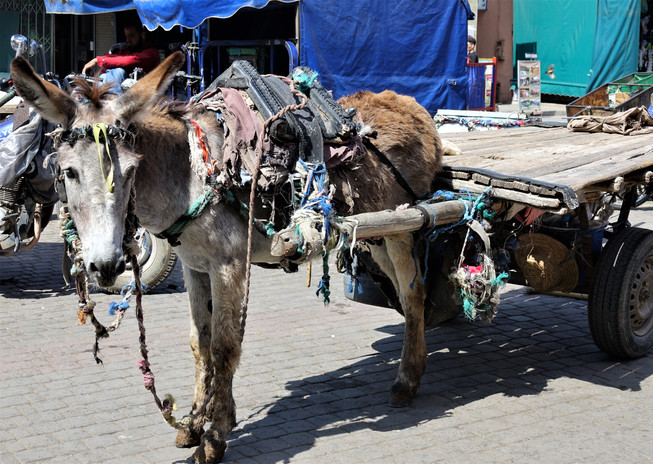donkey morroco.jpg