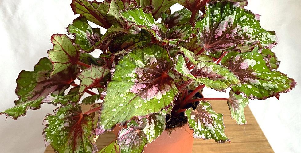 Begonia Beleaf Rex