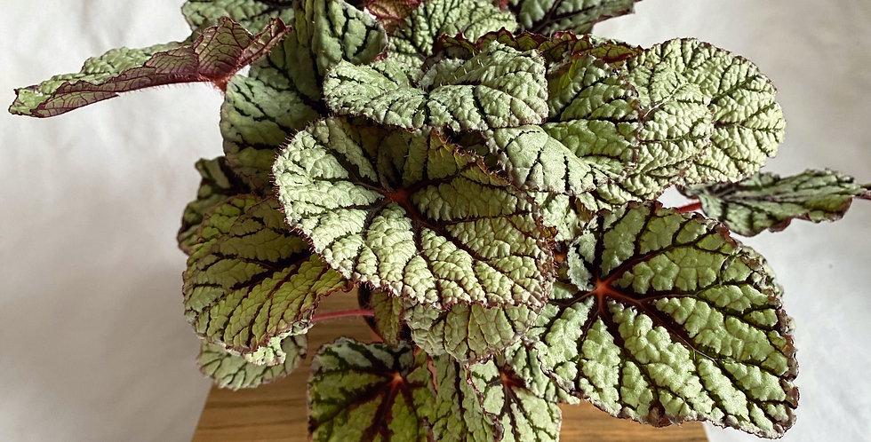Begonia Magic Rex 'Fairy'