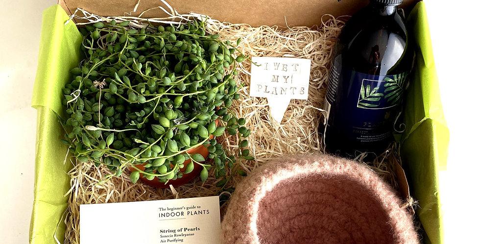 Deluxe House Plant Gift Hamper