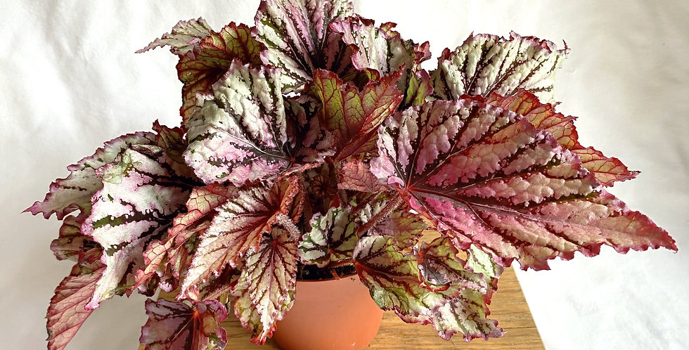 Begonia Magic Rex