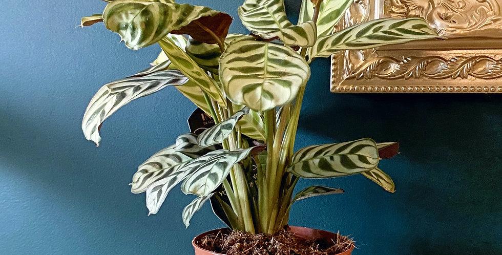 Ctenanthe Burle-marxii Prayer Plant