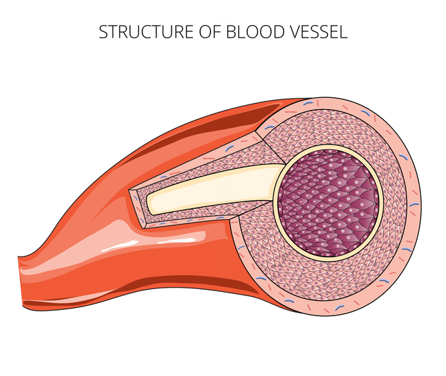 Structure of Blood Vessel (2018)