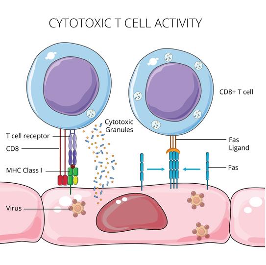 Cytotoxic T Cell Activity (2018)