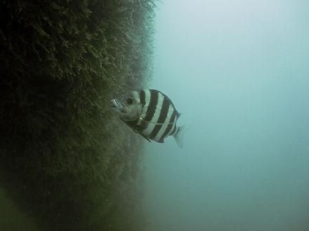 Fish eating on seaweed.jpg