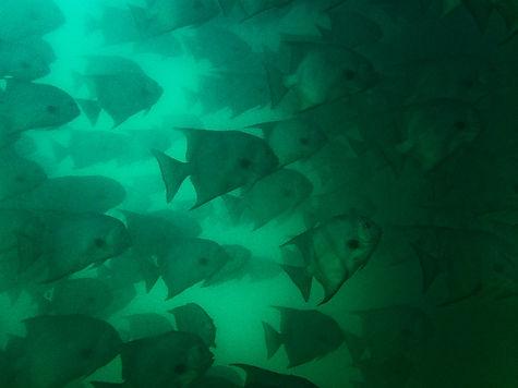 School of Batfish.jpg