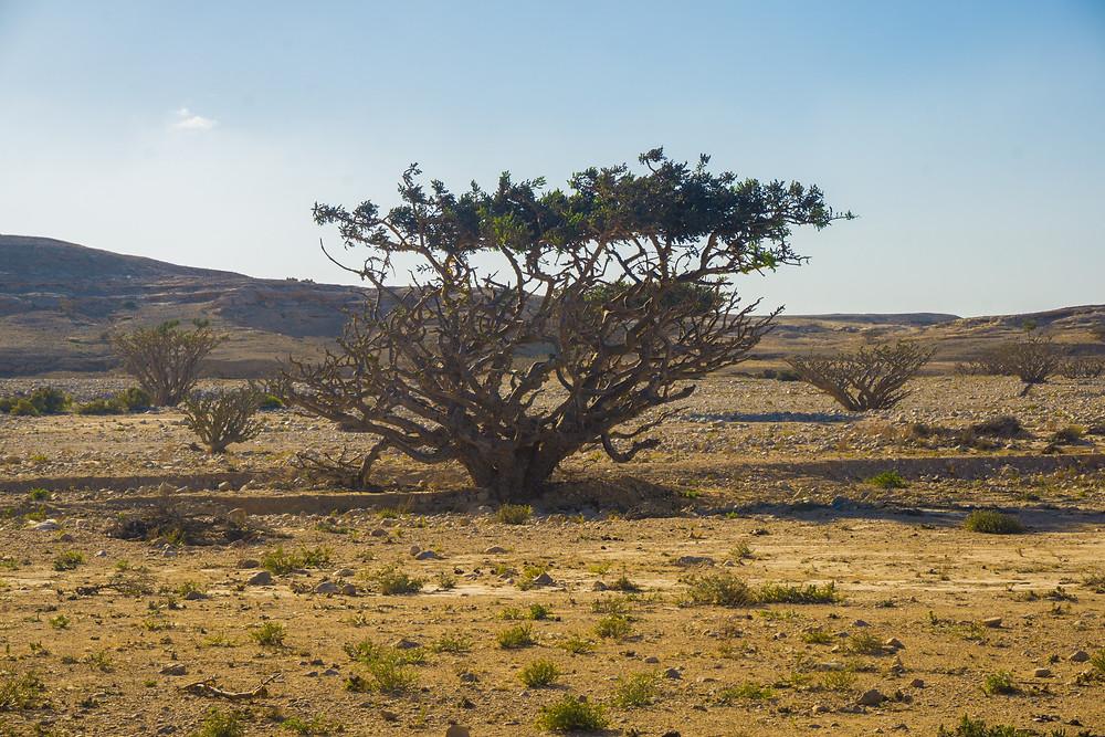 Francincense Tree