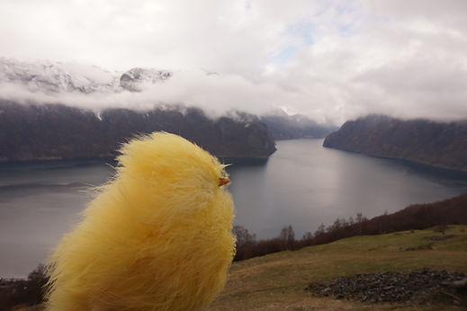 Chicken looking at foggy fjord