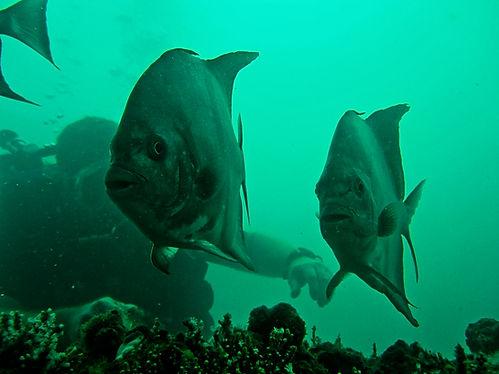 Two batfish and a diver behind.jpg