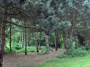 Mosey-conifersS.jpg