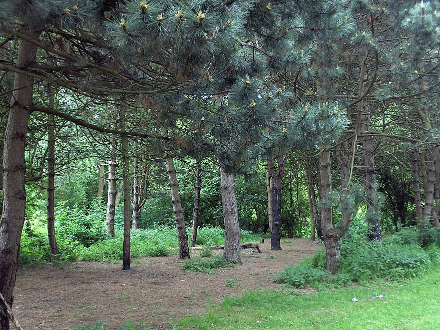 Mosey-conifers.jpg