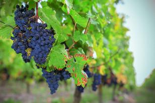 kreazim kazim dubovski photographe saumur varrains vignes domaines viticoles