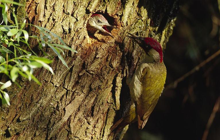 Der Grünspecht wurde 2014 vom NABU zum Vogel des Jahres gewählt. Er  kommt relativ häufig vor und ist durch seine rote Kopfhaube gut zu erkennen. Er ist in lichten Parks, Brachflächen und auf Streuobstwiesen besonders häufig zu finden. Seine Lieblingspeise sind Ameisen. Da er sehr scheu ist, ist es garnicht so einfach, ihn zu entdecken.
