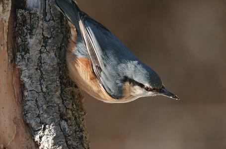 Kleiber, die auch als Spechtmeisen bezeichnet werden, leben in Misch- und Laubwäldern in Baumhöhlen. Auch Nistkästen beziehen sie gerne. Wenn das Loch eines Baumes oder eines Nistkasten zu groß ist, verklebt das Kleiber-Weibchen die Öffnung gerne mit einer Art Lehm. Im Sommer ernähren sie sich von Insekten und Larven - wie ein Specht. Im Winter machen sie sich dann über Nüsse, gerne auch Sonnenblumenkerne und anderes Vogelfutter her - was an eine Meise denken lässt. Kleiber werden auch Baumläufer genannt, weil sie den Baumstamm hinauf - und kopfüber gerne auch nach unten laufen.