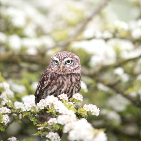 Über Jahrhunderte haben Steinkäuzchen (eine kleine Eulenart) Streuobstwiesen bewohnt - alte Bäume boten viele Möglichkeiten, zu brüten und die Jungvögel großzuziehen. Durch die großen Obstplantagen, in denen solche Bäume nicht mehr vorhanden sind, ist ihr Lebensraum zunehmend bedroht.