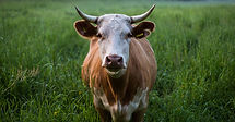 brown%20and%20white%20cattle%20standing%
