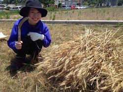 小麦収穫体験亀山さん
