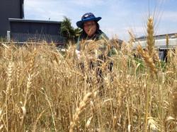 小麦収穫体験藤野.jpg