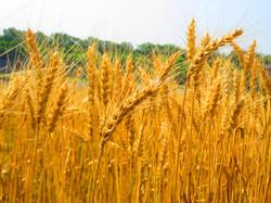 260531黄金小麦.jpg