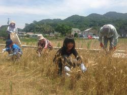 小麦収穫体験子ども.jpg