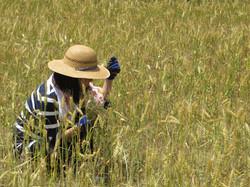 小麦畑雑草とり