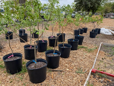 The new orchard