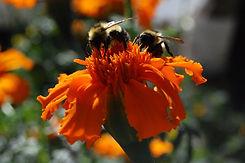 Killarney Farm - bees & marigolds.jpg
