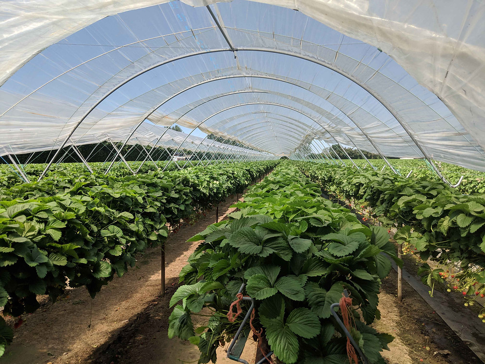 Cammas Hall fruit farm