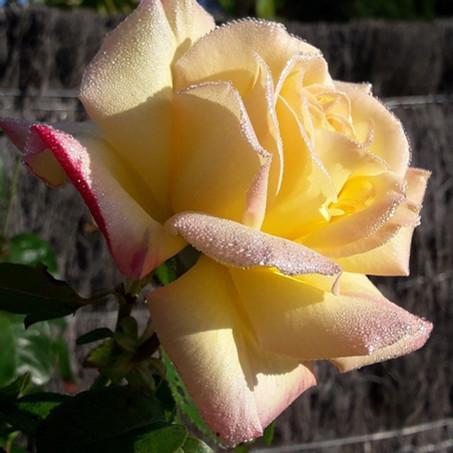 Profitez des bonheurs simples de la vie, telle une rose qui éclot à la rosée du matin.