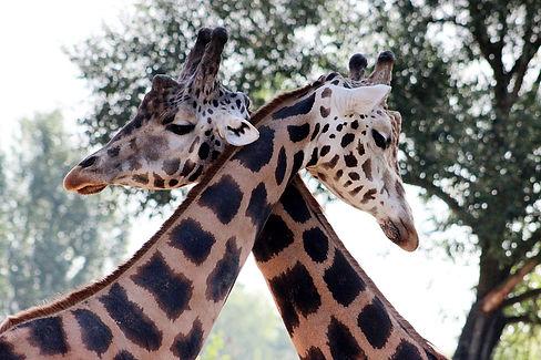 giraffe-4181178_960_720.jpg