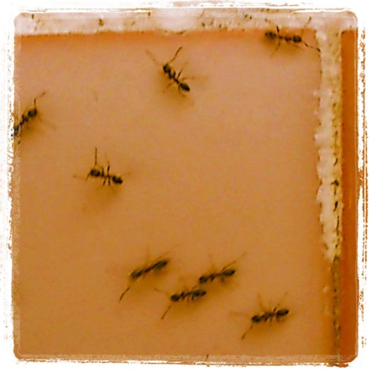 Podria ser art contemporani... però son formigues perdudes en una cuina