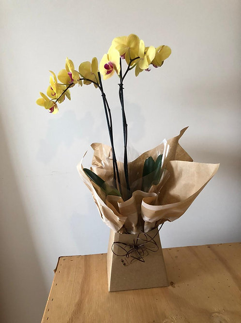 Orquídea Presentar