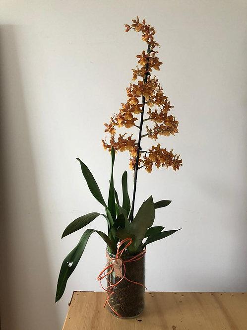 Orquídea Única Sob consulta