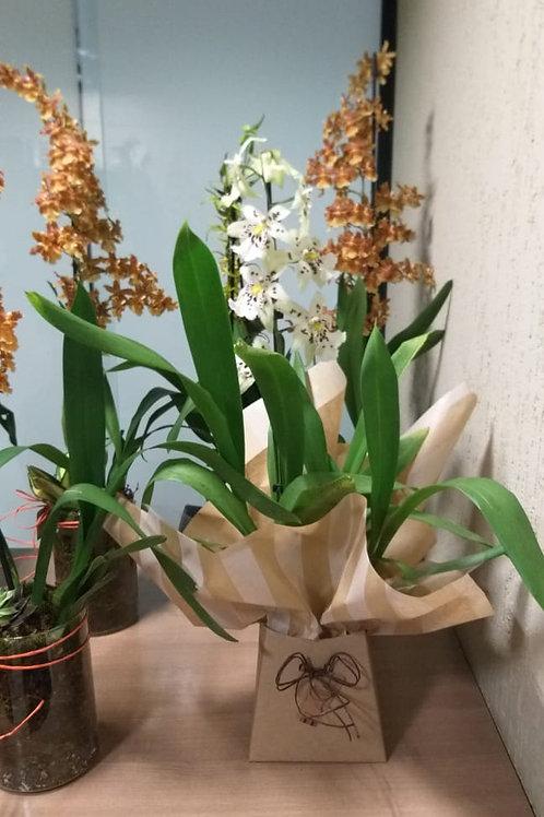 Orquídea 04 Sob consulta