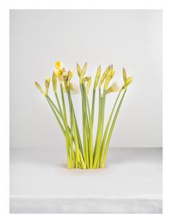 Daffodil-photo-still life