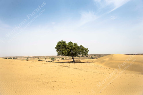 The desert tree