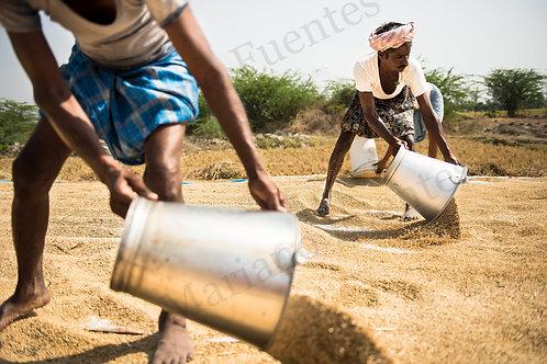 Grain Workers