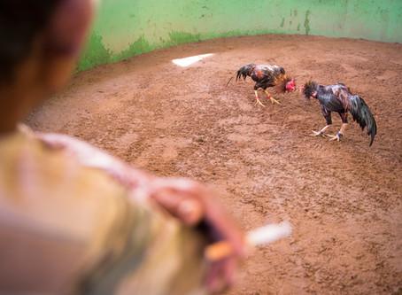 Riñas de Gallos Clandestinas en Laos