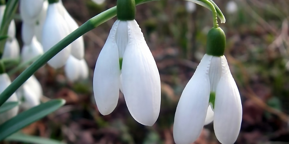 AGAS Talk: 'The Amazing World of Snowdrops' with Lyn Miles