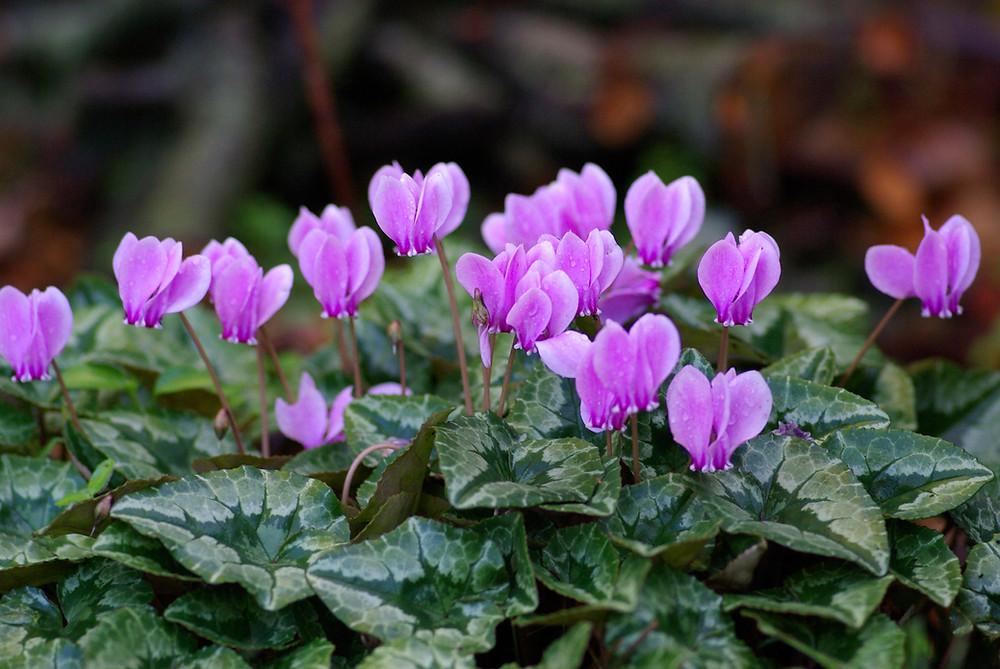 Purple Cyclamens
