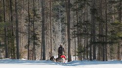 Dog Sledding in Algonquin Park