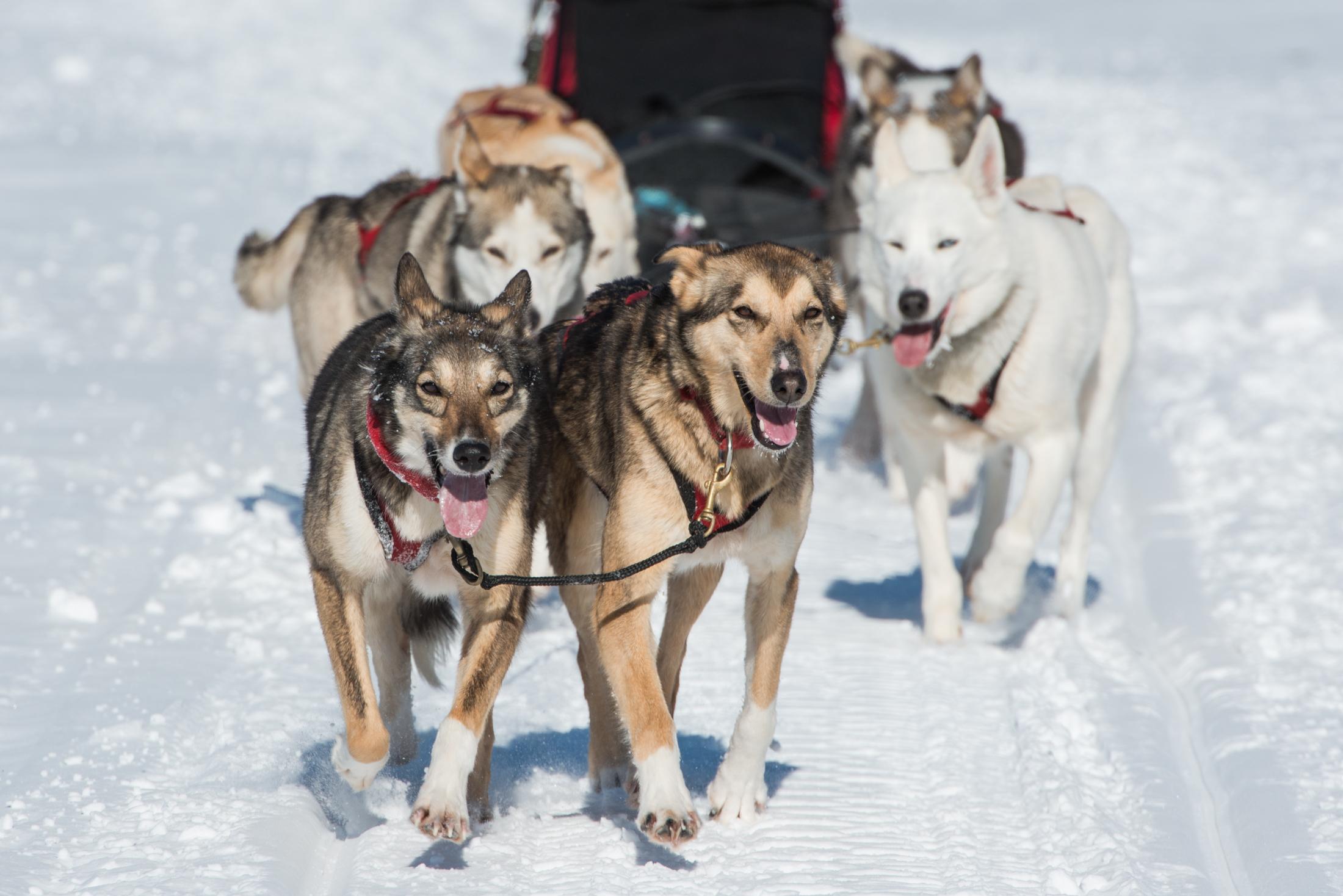 Dog Sledding in Algonquin Park