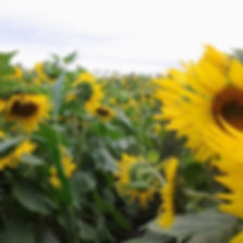 sunflowers_interlaken.jpg