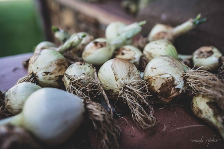 Onions - Amanda Ritchie